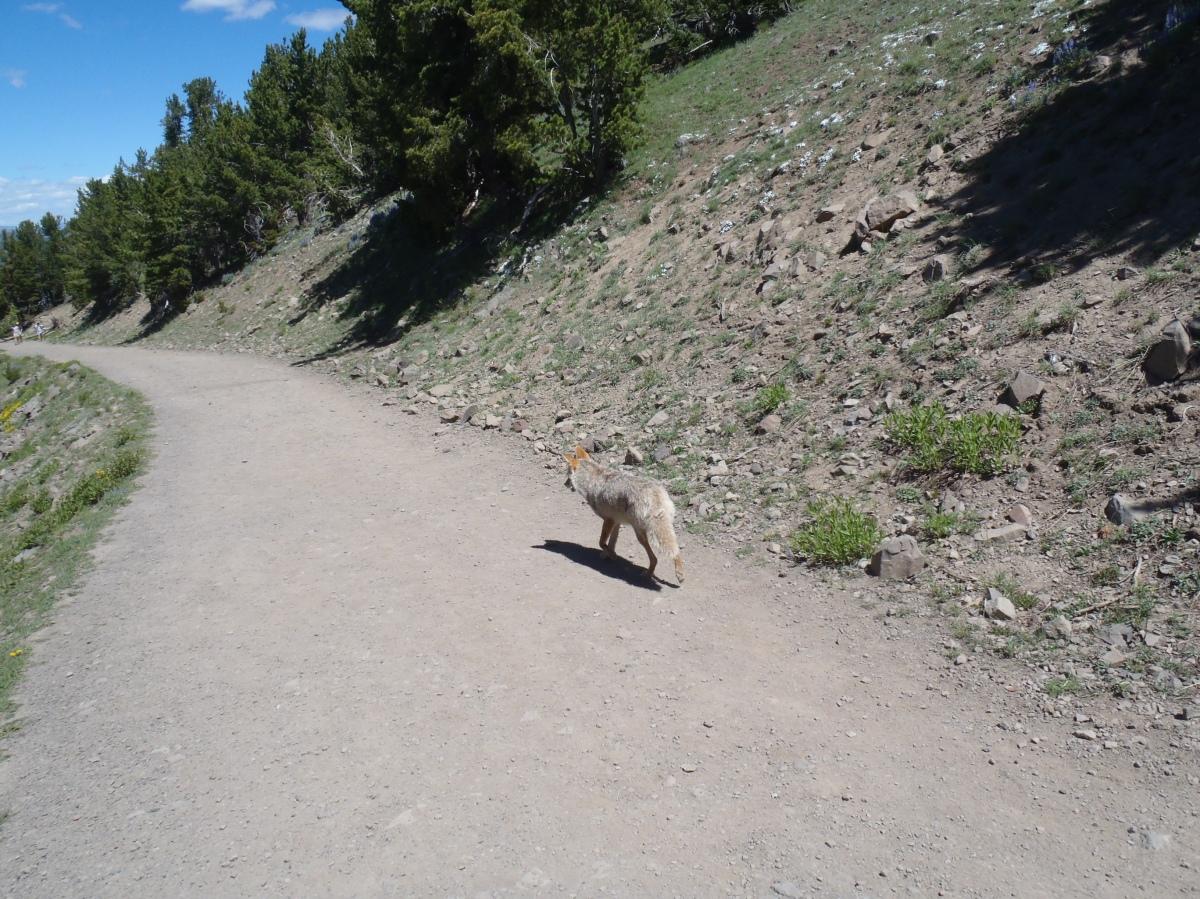 The Coyote Comeback